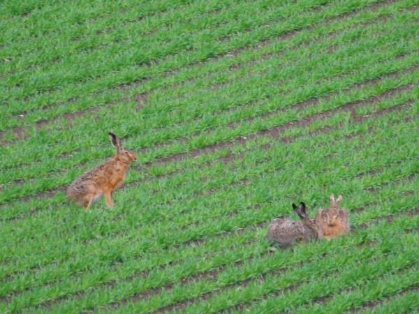 Harer på marken